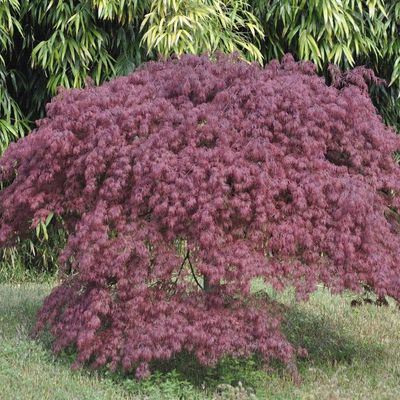 ACER dissectum 'Inaba-Shidare'