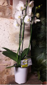 ORCHIDEE BLANCHE+ZINC