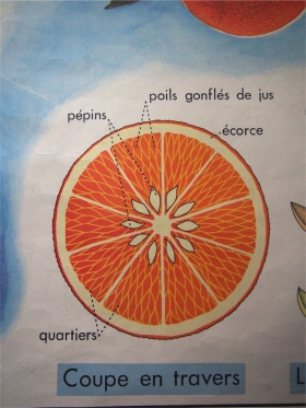 Ancienne affiche scolaire 2 faces: L'orange - la fourrure