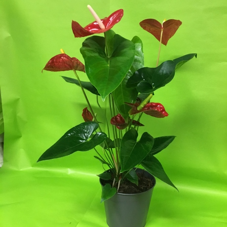 Anthurium avec cache pot