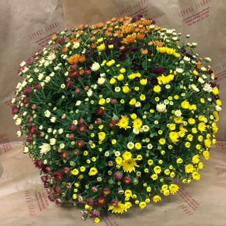 Coupe de chrysanthème multicolore