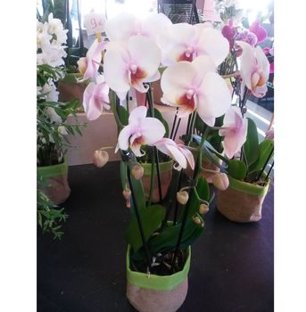Phalaenopsis 2 tiges arceau