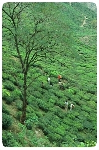 From the bush to the cup: the tea gathering
