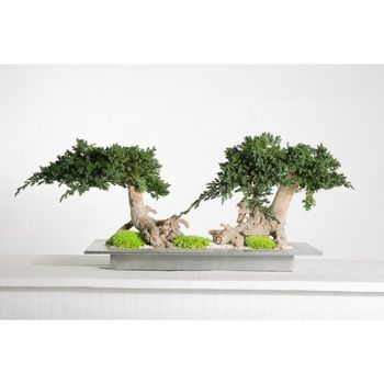 Bonzaï double juniperus