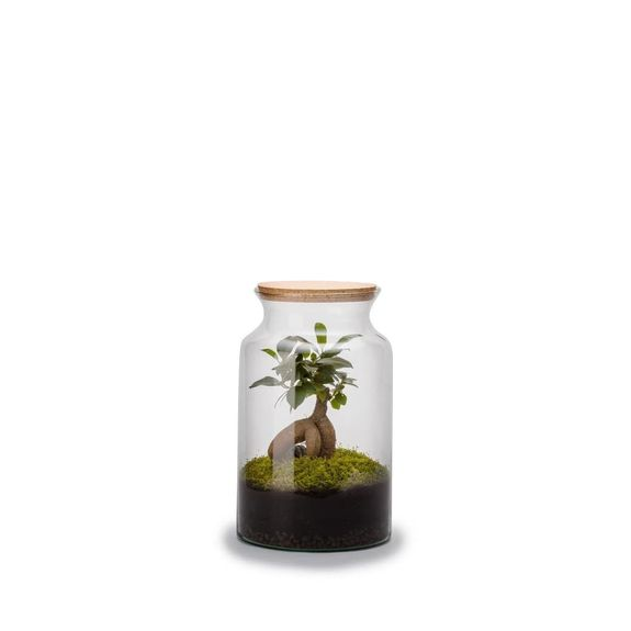 Terrarium jungle ginseng