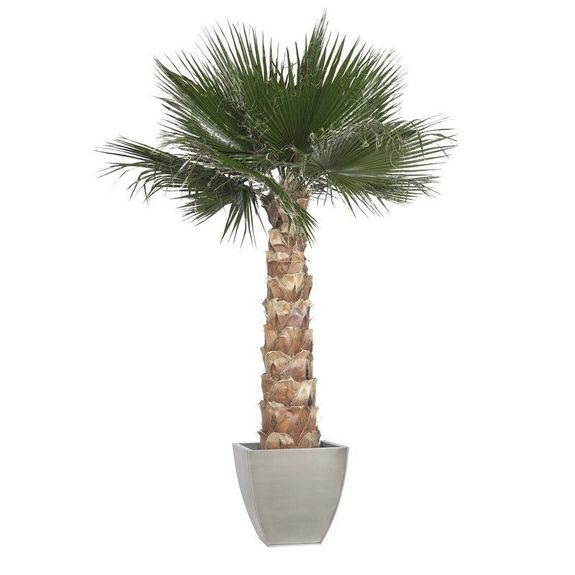 Palmier washingtonia