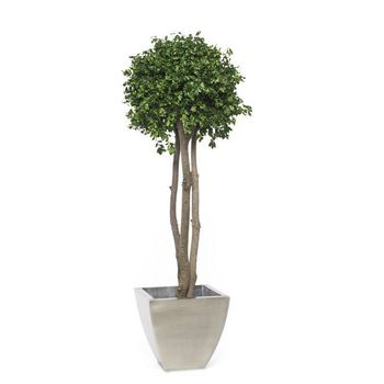 Arbre pitosporum crown