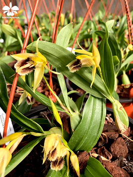 Coelogyne fimbriata  suspension  28.90€