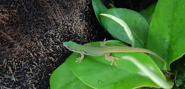 Phelsuma quadriocellata 6 mois  119.00€  Ifap inclu photos