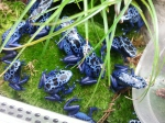 Dendrobate tinctorius azureus né en captivité 09/2016 4 cm  79.00€  avec identification photo Ifap