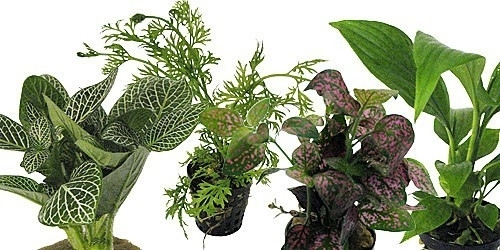 assortiment de 6 plantes de terrarium pour milieu tropicale. Black Bedroom Furniture Sets. Home Design Ideas