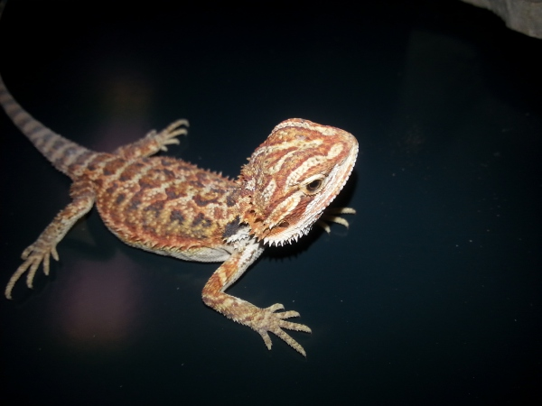 Pogona vitticeps hypo red  blood red NC 06/2016  79.00€