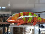 Furcifer pardalis ambilobe red bars mâle NC 2019  325.00€  7 mois  ifap photos