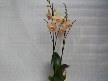 ORCHIDEE 2 TIGES